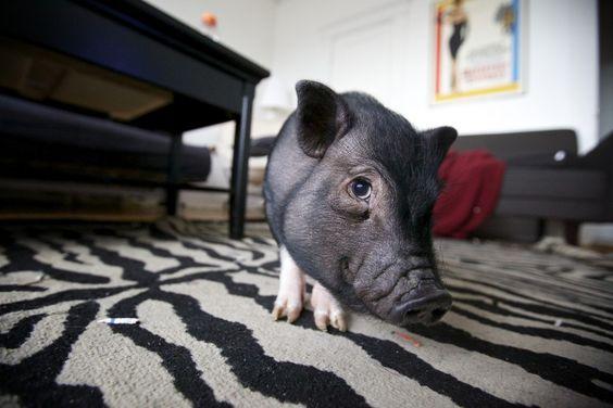Warum es möglicherweise keine gute Idee ist, ein Minischwein zu halten | BIORAMA