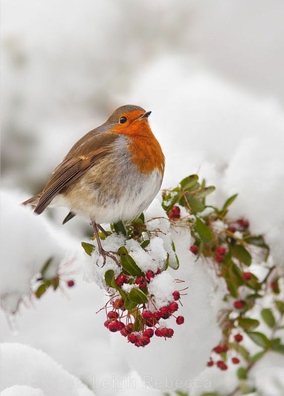 "earthlyenchantment: ""(via (1) Pinterest) Robin in Snow by Hamed Tizrooyan on 500px """