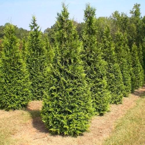 Green giant arborvitae central stem arborvitae grows for Green giant arborvitae