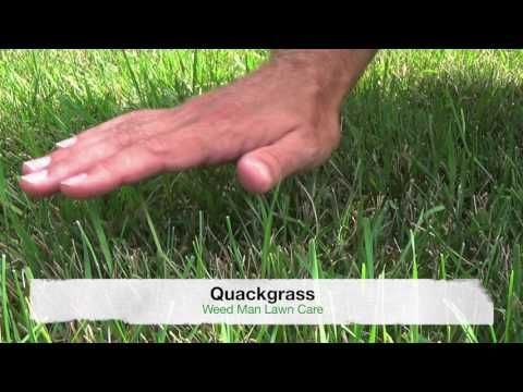 Identifying Quack Grass Crab Grass And Tall Fescue Crab Grass Fescue Tall Fescue