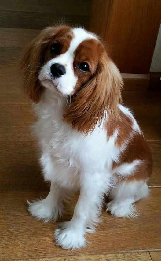 We Warn You Once Again You Should Not Get A Cavalier King Cavalier King Charles Spaniel Blenheim King Charles Cavalier Spaniel Puppy Cavalier King Charles Dog