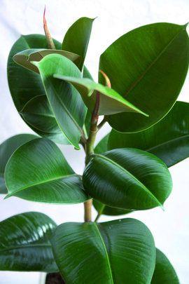 Szobafikusz (Ficus elastica)