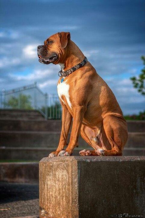 Learning To Train A Disobedient Dog With Images Boxer Dogs