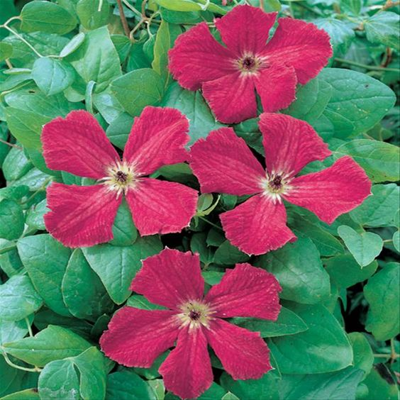 clematis viticella rubra red border pinterest. Black Bedroom Furniture Sets. Home Design Ideas