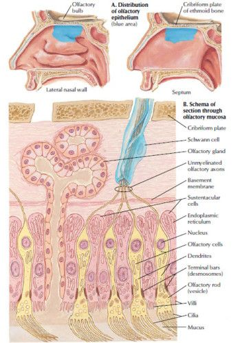 Olfactory System Receptors - Health, Medicine and Anatomy Reference Images