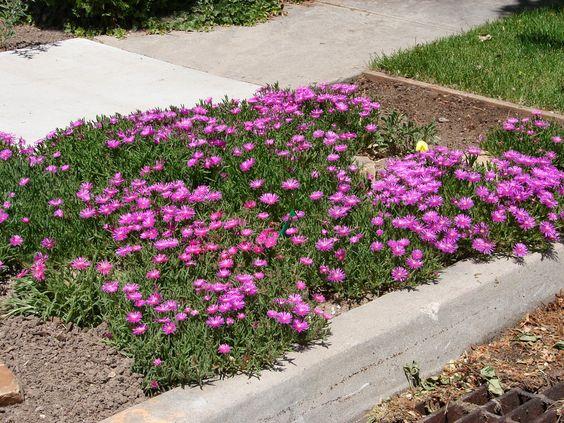 New Utah Gardener: Hardy Ice Plant - Waterwise Groundcover for Utah