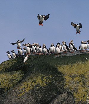 Orkney Puffin