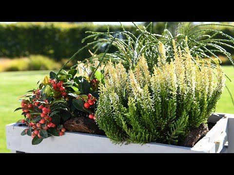 Wrzosy I Kompozycje Z Nimi Jakie Rosliny Najlepiej Sadzic Z Wrzosami W Donicach Youtube Plants Herbs