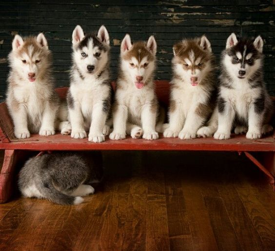 #Husky #puppies. Looks like one is camera shy! Isis would def be the one hiding from the camera lol
