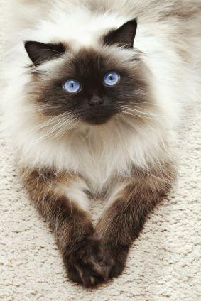 Himalayan cat ... <3