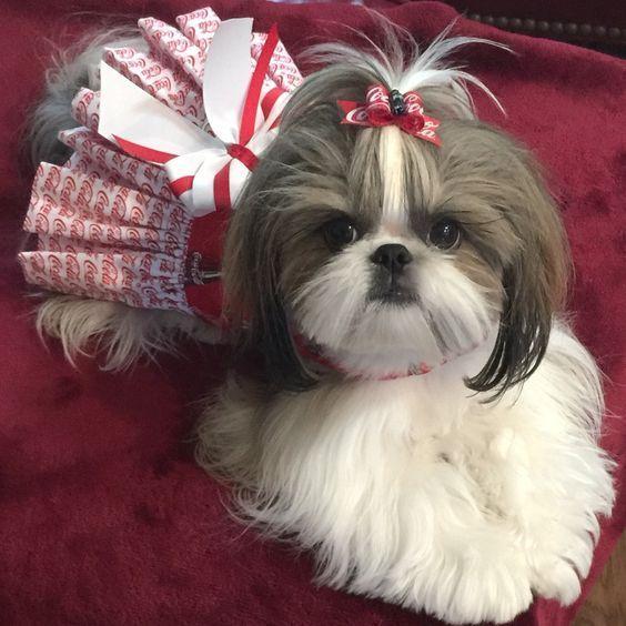 Top 6 Beautiful Shih Tzu Haircuts Shih Tzu Puppy Shih Tzu