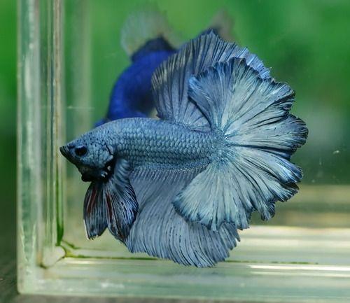 Betta Blue Dragon And Steel On Pinterest