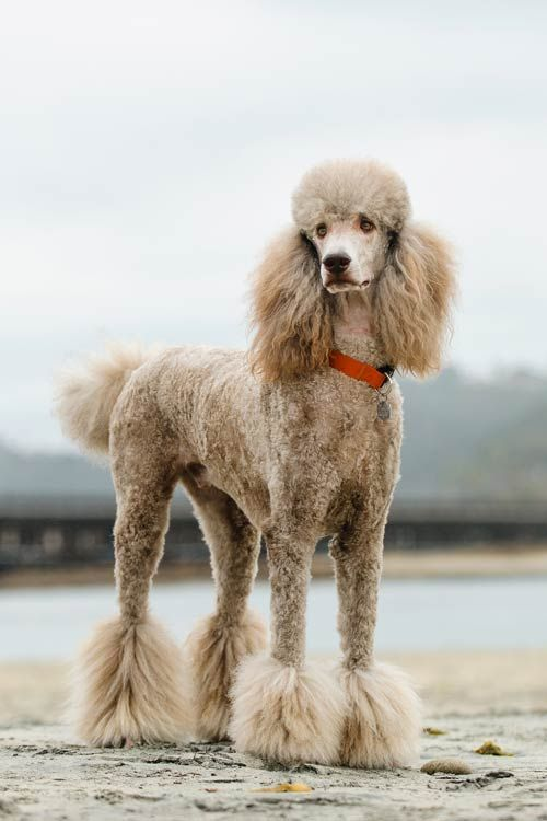 Poodles Unless You Plan To Keep Your Poodle Clipped In A Short
