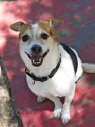 BOAZ is an adoptable Jack Russell Terrier (Parson Russell Terrier) Dog in Boston,