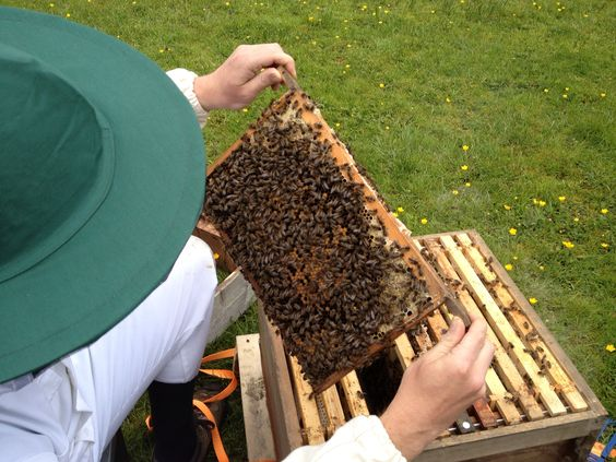 Visiting our new native black bees from Colonsay. June 2013