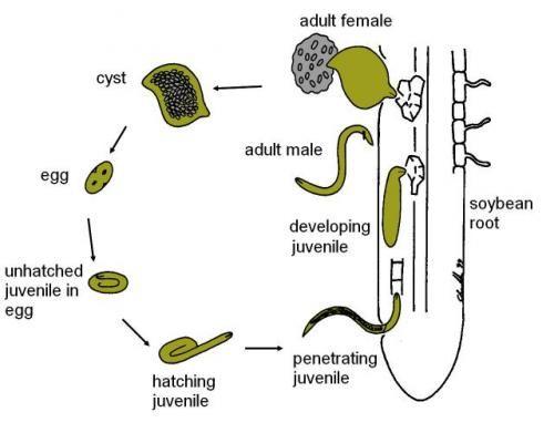 soybean cyst nematode life cycle   diagrams   pinterest   life    soybean cyst nematode life cycle