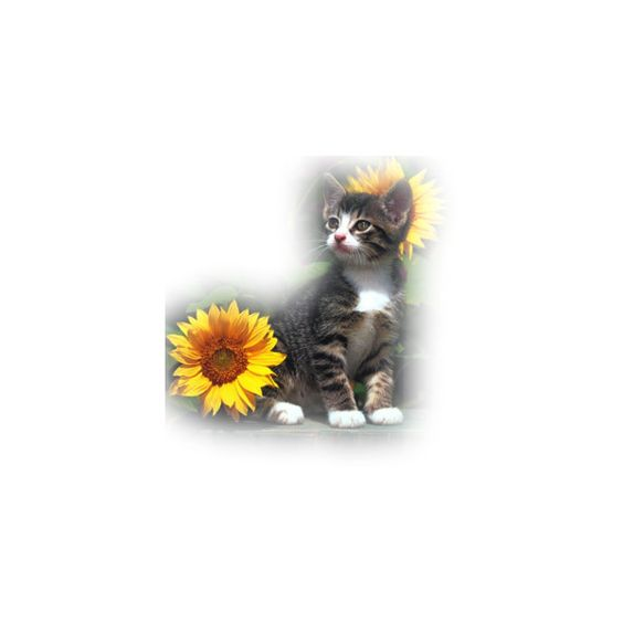 background, tubes, cats ❤ liked on Polyvore featuring cats, animals, autumn, flowers and tubes