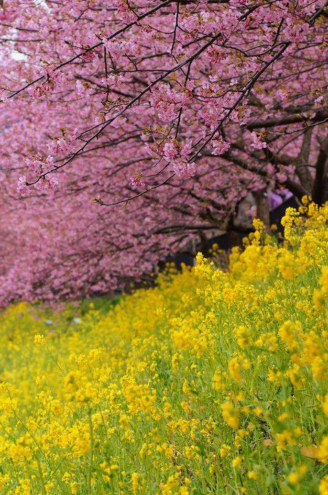 見事な桜と菜の花が綺麗で美しい花畑