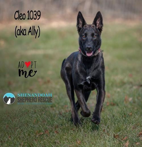 Adopt Cleo 1039 On Petfinder In 2020 Foster Dog Belgian Shepherd Shepherd Dog Mix