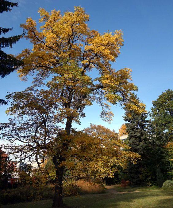 Der Amerikanische Geweihbaum (Gymnocladus dioicus) ist ein malerischer Kleinbaum aus Nordamerika. Bei uns ist er nur selten zu sehen.