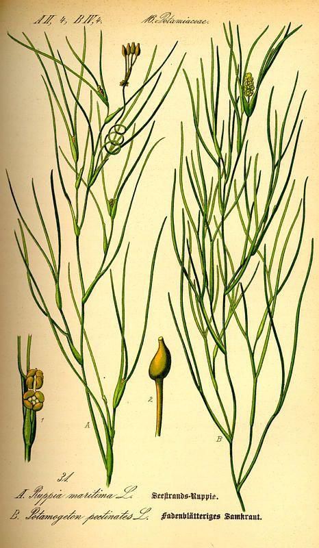 Flora von Deutschland Österreich und der Schweiz (1885). Ruppia maritima