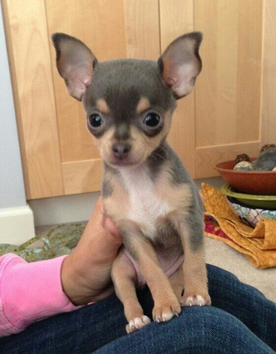 Baby Bella A Blue Chihuahua She Reminds Me A Lot Of My Own
