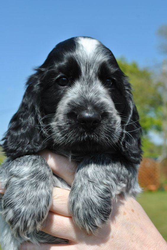Blue Roan Cocker Spaniel I M Hoping To Get One Of These Beauties In The Summer So Excite Black Cocker Spaniel Puppies Spaniel Puppies Cocker Spaniel Puppies