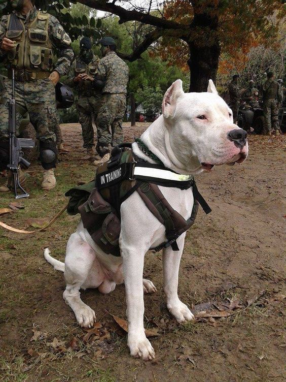 Military Trained Dog Military Dogs Dog Argentino Working Dogs
