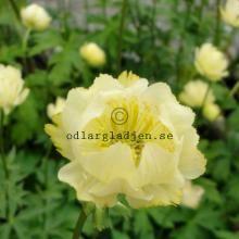 Trädgårdsväxter | Odlarglädjen