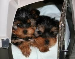 CUTE BABY FACE TEACUP YORKIE PUPPIES FOR FREE ADOPTION