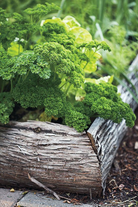 Bark raised beds of Curly Leaf parsley
