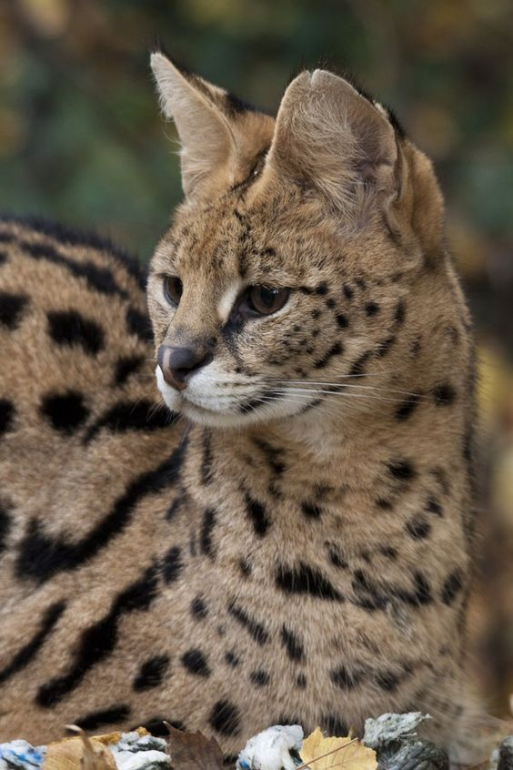 *Serval (by Jay Co)