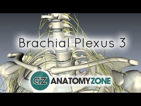 Brachial Plexus - Terminal Branches - Anatomy Tutorial - YouTube ...