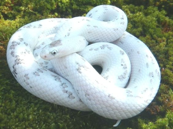 Hypo Amelanistic Corn Snake