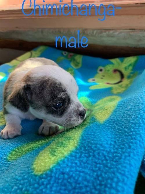 Adopt Chimichanga On Petfinder Dog Adoption Help Homeless Pets Pet Adoption