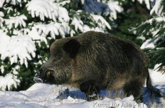 Wildschwein Eber männlich stehend Portrait Winter Schnee Säugetier einzeln Wald Lichtung Sus scrofa Tier