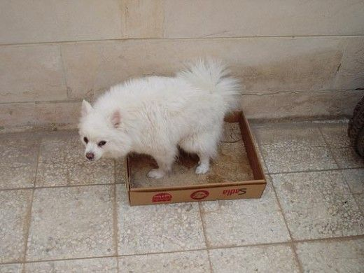 How To Litter Box Train A Dog Dog Training Training Your Dog