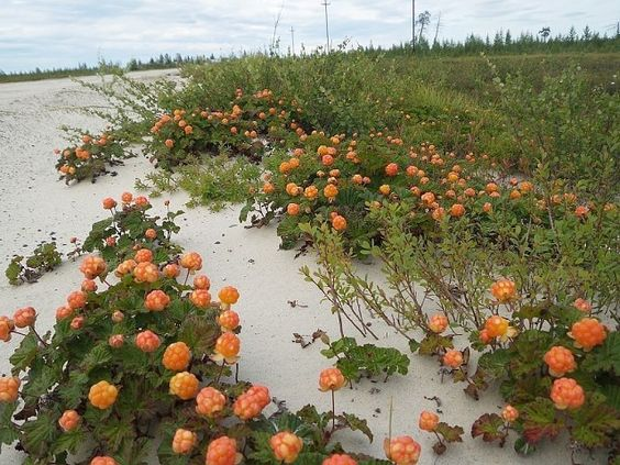 ягода морошка фото где растет
