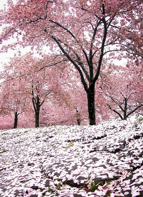 drxgonfly:  the pink hail of cherry blossom storms (by manyfires)