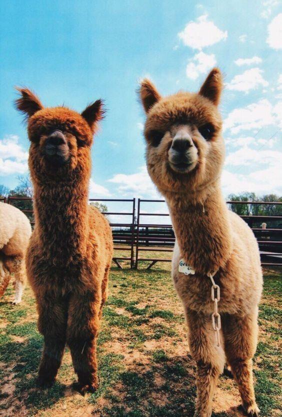 Funny Llama Alpaca Pictures Hilarious Make You Smile Cute