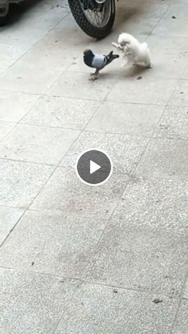 Pombo ataca cãozinho e foge em desparada