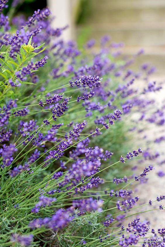 Pin By Atelier Cecilia Rosslee On L A V E N T E L In 2020 Lavender Syrup Lavender Plant Edible Lavender