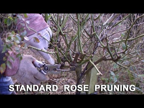 Get Gardening Standard Practice Pruning Standard Roses Youtube Standard Roses Prune Rose