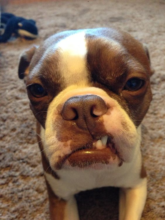 Hey Whatchu Lookin at? - Red Boston Terrier from Toronto, Canada (Photo)