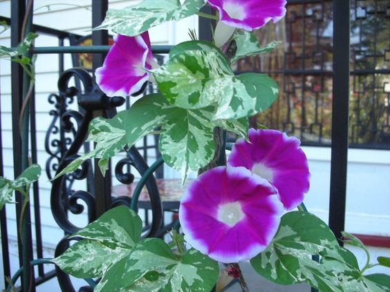 * MORNING GLORY CAMEO ELEGANCE * VARIEGATED LEAVES!! SEEDS
