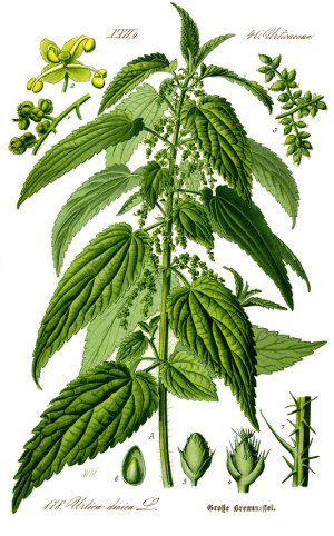 L'ortie, une plante tellement banale qu'on en oublierait ses vertus reminéralisantes et dépuratives