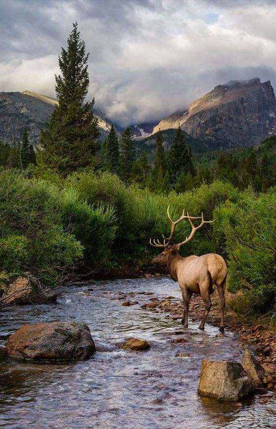 Elk at Rocky Mountain National Park in Colorado: