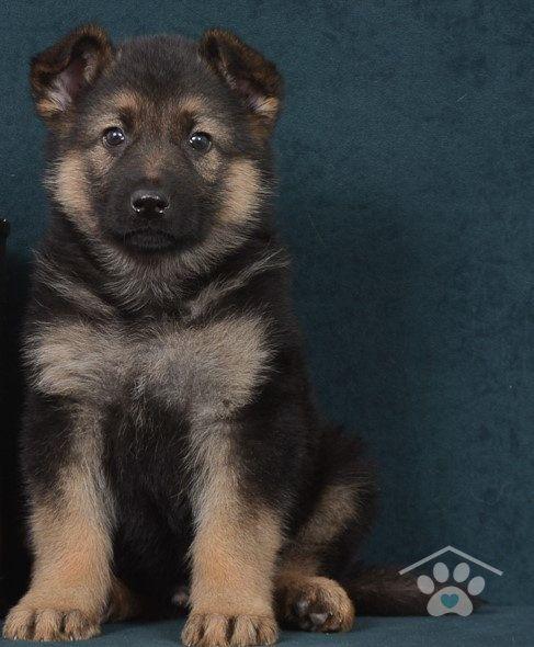 Meet Hawkeye He Is A Sharp Male Black And Tan German Shepherd Besides Love And Admiration Ha German Shepherd Puppies Shepherd Puppies German Shepard Puppies