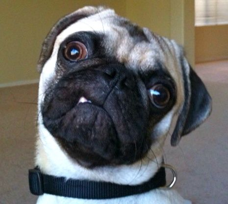 Mr. Pug says: You lookin' at me? Are YOU lookin' at ME?