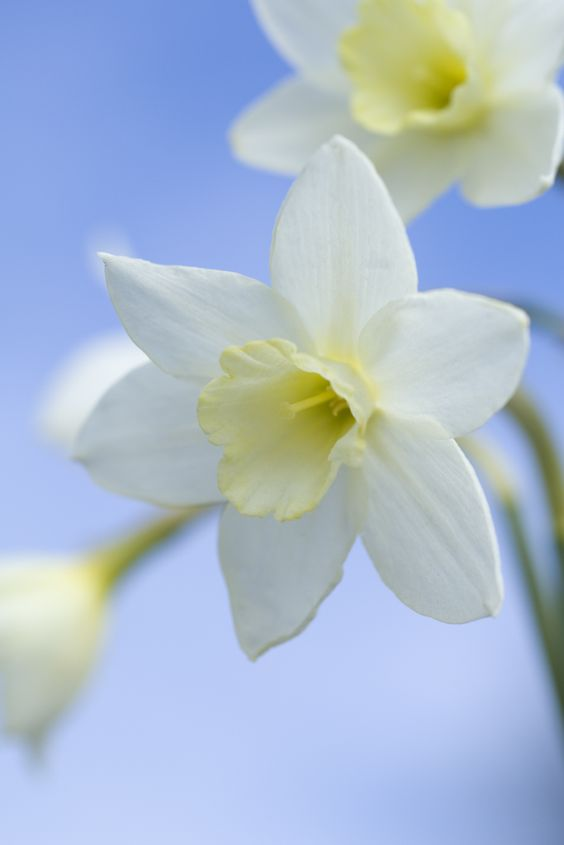 Narcissus 'Pacific'
